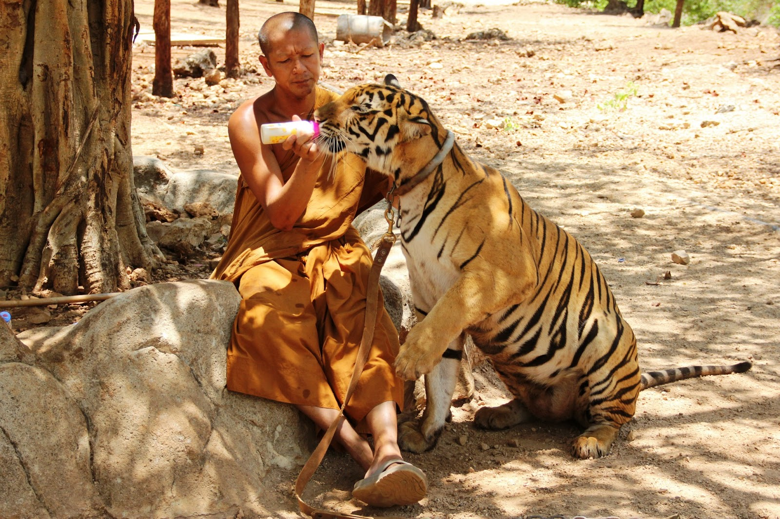 7 Reasons Not To Visit Thailand's Tiger Temples ...